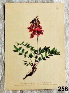 starý atlas kvìtin - jednotlivé listy k zarámování